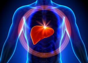 مكان الكبد في جسم الانسان
