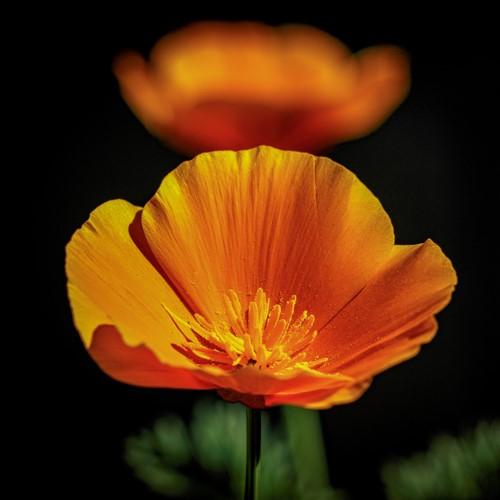 Poppy-Square.jpg
