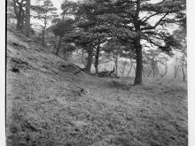 Black and white photo of a pine tree on a slope