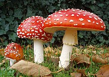 Image result for fly agaric