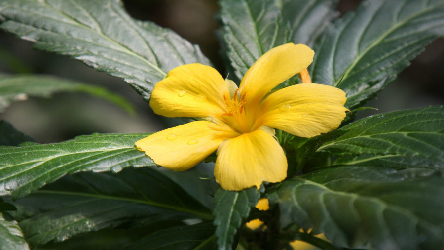 Damiana can Help with Diabetes and Sex Life at the Same Time