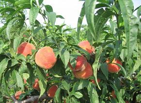 果树苗,果树苗价格,果树苗供求信息,山东果树苗