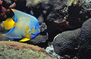 Henry W. Kendall Photography Queen Angelfish Florida 1950s