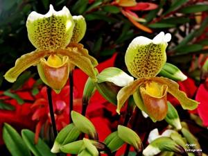 orquidea rara sapatinhos de senhora