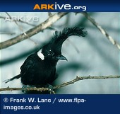 Arkive photo - Crested jay