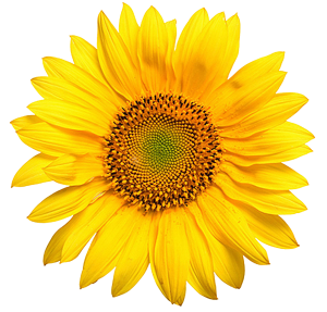 sunflower4-web-transparant