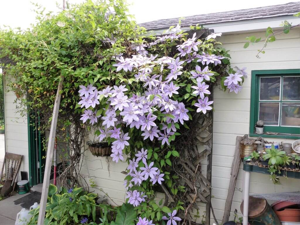 Giant Purple Clematis--