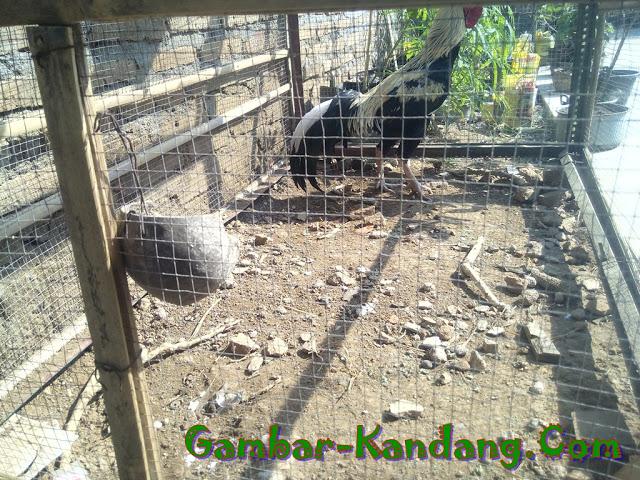 Contoh Kandang Jemur Ayam Bangkok