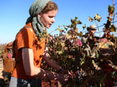 An evangelical woman from the U.S. picking grapes in the West Bank. Free volunteers is just one of the ways Christians help settlers