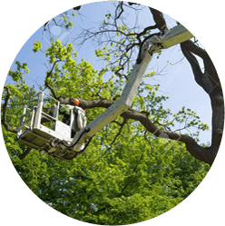Tree Pruning services in Perth