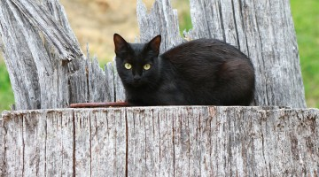 Feline Pancreatitis: Difficult to Diagnose, Difficult to Manage