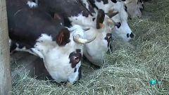 Los cuernos de las vacas a votación en Suiza