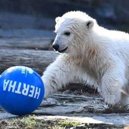Polar bear cub Hertha plays with a ball after she was given her