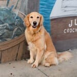 Honey the golden retriever in front of a mural