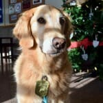 Learn about the wrong way to train your dog with treats. (Golden retriever dog in shadow)