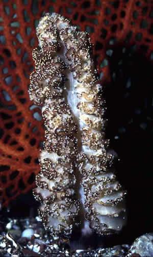 fleshy sea  pen in San Carlos, Sonora Mexico