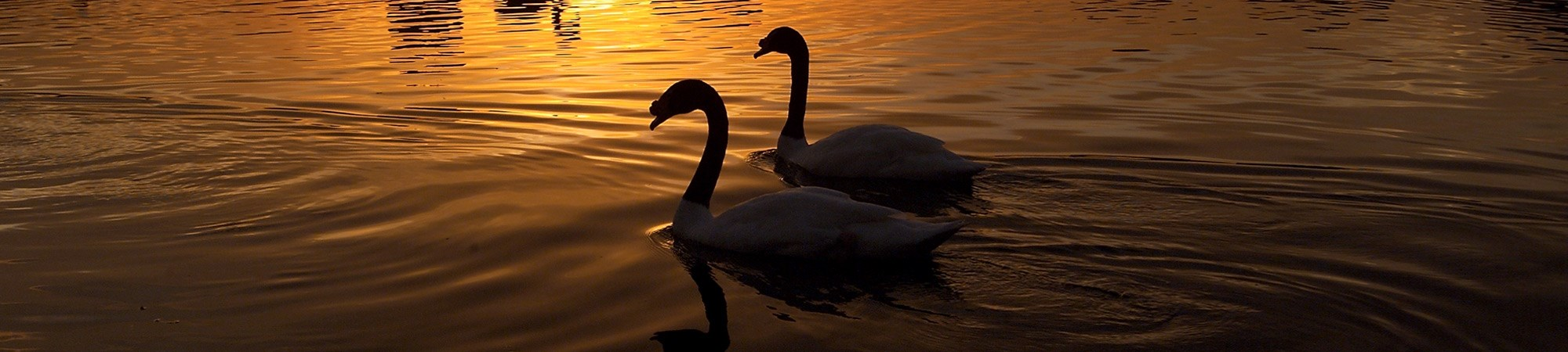 Swans swimming in the evening