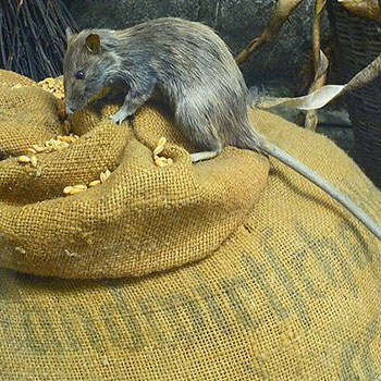 By H. Zell - cropped version of File:Rattus rattus 01.JPG, CC BY 3.0, https://commons.wikimedia.org/w/index.php?curid=17536767