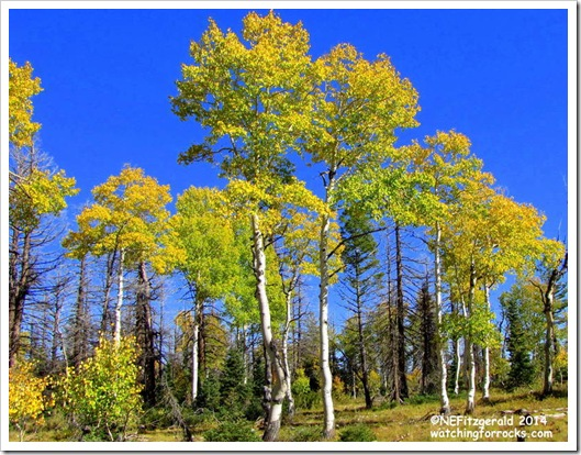 IMG_8124Aspens