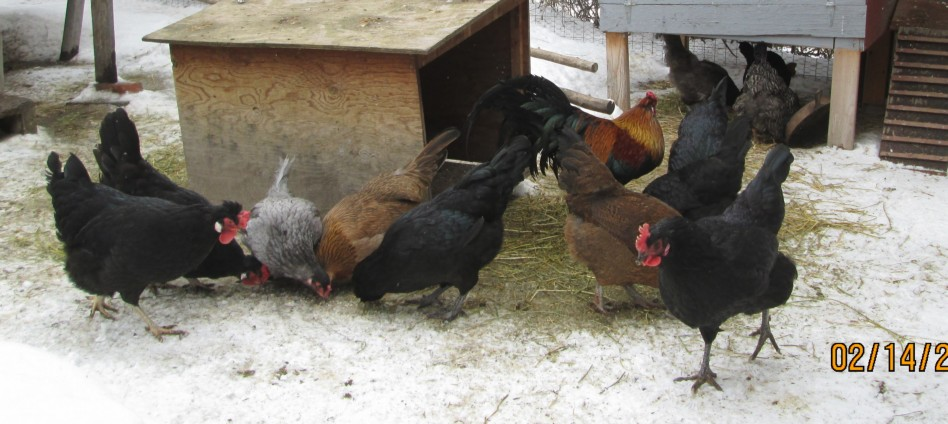 Organic Chickens at Oasis Montana