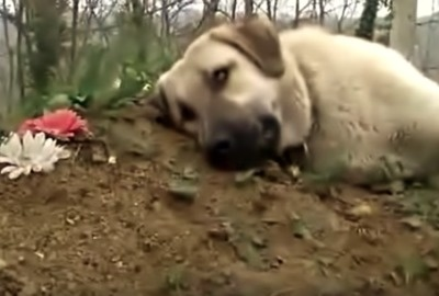Heartbroken Dog Mourns At His Owner's Grave.