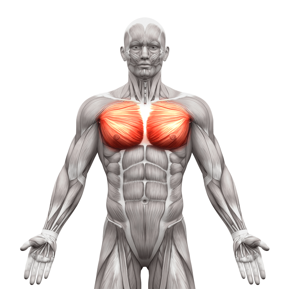 Image result for training Chest Muscles