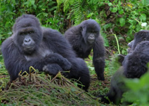 10 Days gorilla trekking safari in Rwanda