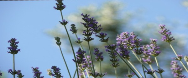 Lavender Essential Oil: Chemistry and Therapeutic Properties