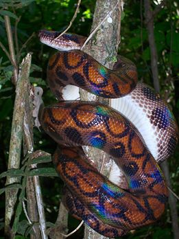 Rainbow boa wrapped around a tree branch. It has orange-brown skin with a pattern of black rings. A layer of iridescent rainbow sheen is visible on its skin