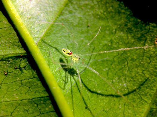 yellow spider on a green leaf; it has a happy face pattern on its back