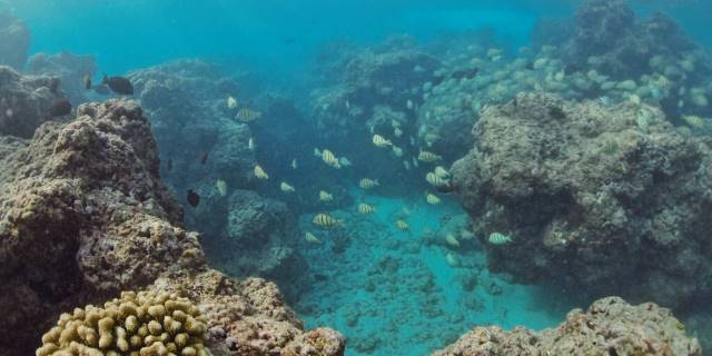 School of black striped fishes swimming along reefs.
