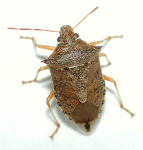 Spined soldier bug: Podisus maculiventris. A predatory and beneficial stink bug.