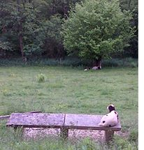 'Remember when it was sunny? A jacob's lambs having a sunbathe one of the benches at Woodchester Park.'