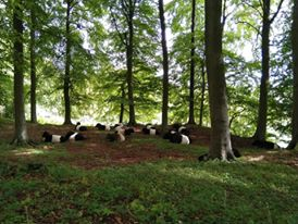 'Conservation grazing can be hard work! Livestock Ranger, Kate spotted the Belties snoozing underneath the beech trees at Boundary Court.'
