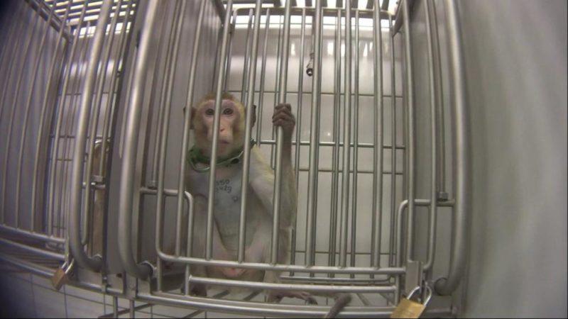 Heimliche Aufnahmen – Tierquälerei im Versuchslabor – Staatsanwaltschaft ermittelt