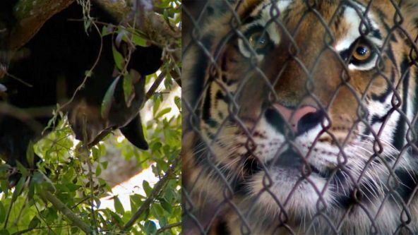 Tigers moved at refuge so wild cub will climb down tree