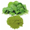Spinach Powder - VINAYAK INGREDIENTS