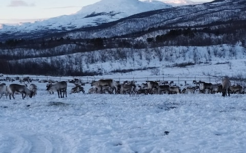 Climate change is leaving reindeer in Swedish lapland hungry.