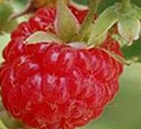 灯笼果,树莓批发