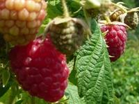 树莓,树莓种苗价格
