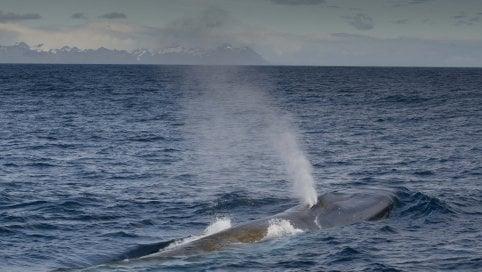 Laggiù dove le balenottere sono tornate di GIACOMO TALIGNANI Lo speciale Effetto Terra
