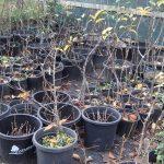 apples pots Chestnut Farm