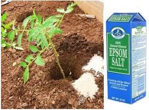 A picture of a box of epsom salt next to a plant in the ground. There's two piles of epson salt next to the plant.