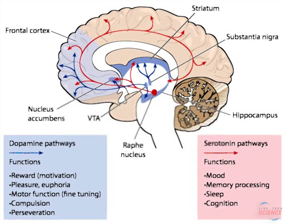 dopamine pathway - how it effects the brain