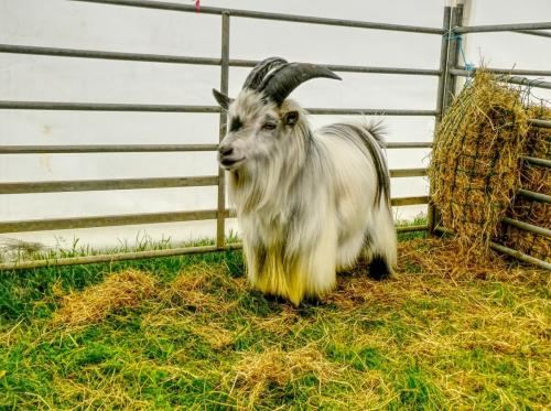 Pygmy goat 2 compressed