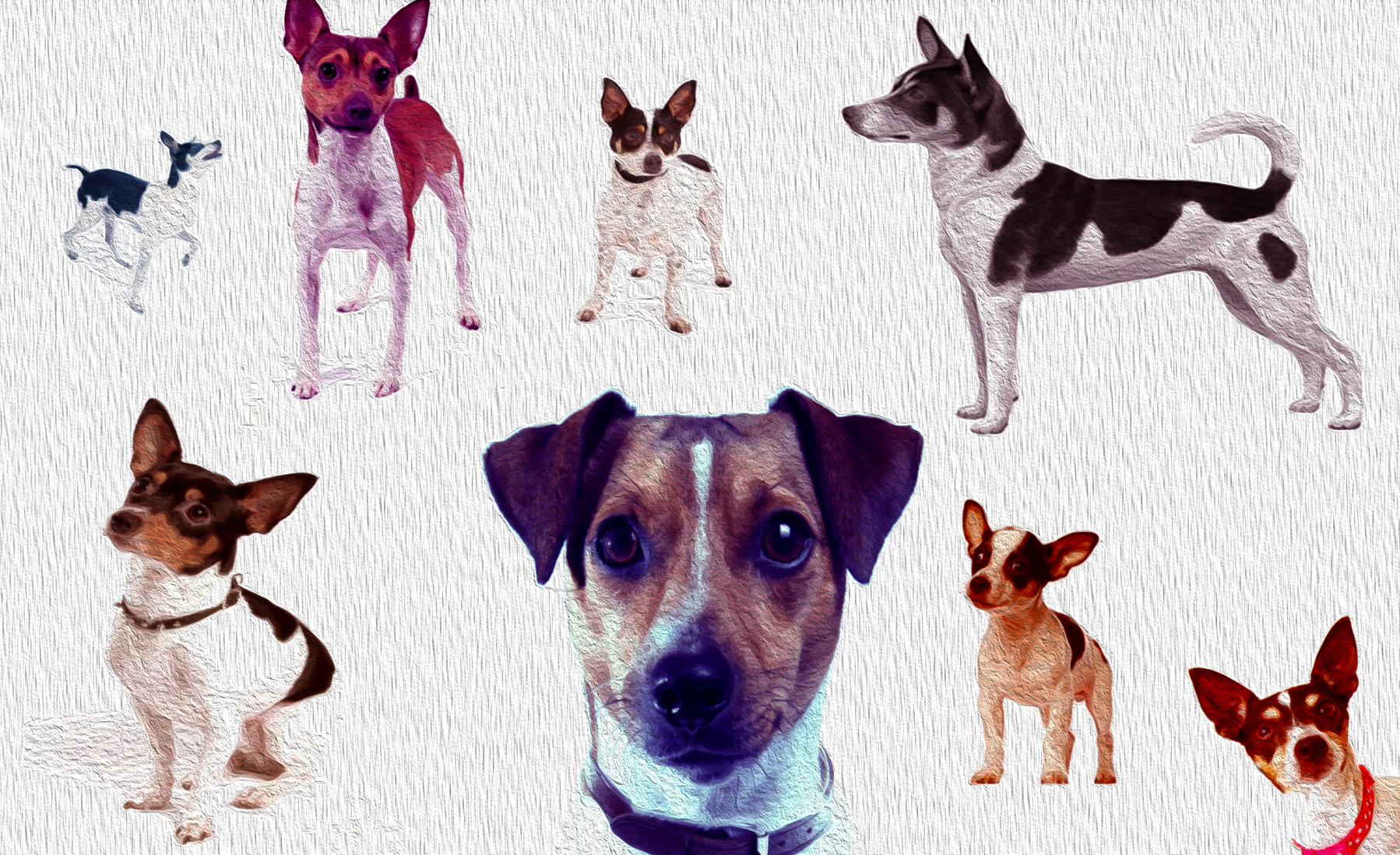 RatTerrierAdvice.com - Oil Paint - Rat Terrier Breed Profile and Information on Different Types of Rat Terriers