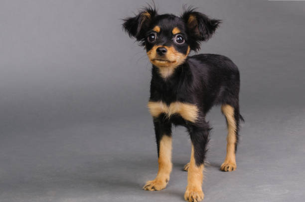 ratterrieradvice.com-4-the-10-smallest-dog-breeds-in-the-world