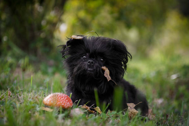 ratterrieradvice.com-3-the-10-smallest-dog-breeds-in-the-world