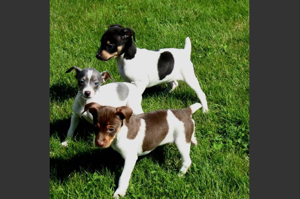 Rat Terrier Training - Training A Rat Terrier Puppy