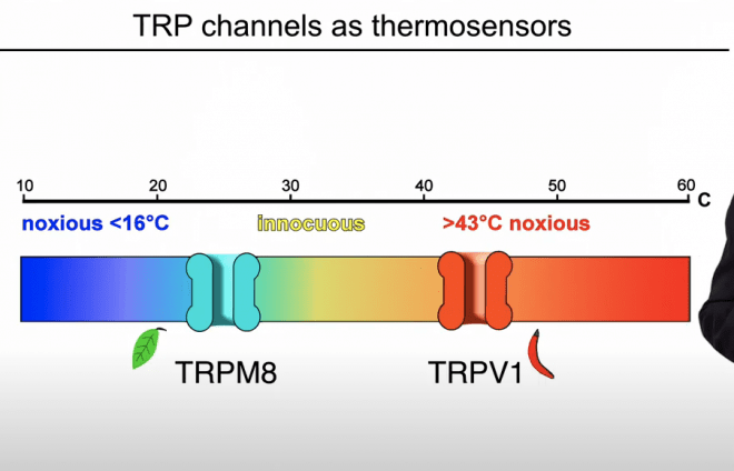 Caption: TRP ion channels respond to changes in temperature by opening pores that allow positively charged sodium and calcium ions to flow through the membranes of nerve cells, triggering a change in voltage across the membrane